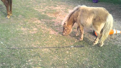 Baby Mini Horse Using A Lunge Whip
