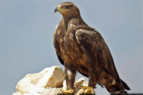 national animal  egypt einfon
