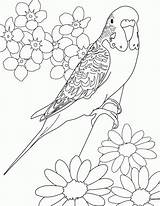 Budgie Coloring Parakeet Pages Printable Parakeets Print Colouring Bird Drawings Adults Desenhos Budgies Budgerigars Birds Sheets Adult Para Canary Books sketch template