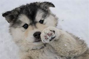 A husky puppy lying on its back in the snow with one paw ...