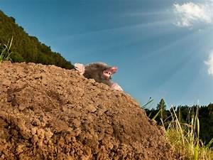 Maulwurf Im Garten Loswerden : maulwurf im garten so werden sie ihn endg ltig los leonhards ~ Frokenaadalensverden.com Haus und Dekorationen