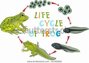Life Cycle Frog Stock Vector  Royalty Free  317950805
