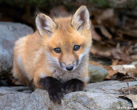 Red Fox Pup Wild  I Went Hicking Today Along
