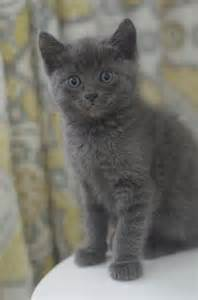 gray cat names the itty bitty kitty committee our gray