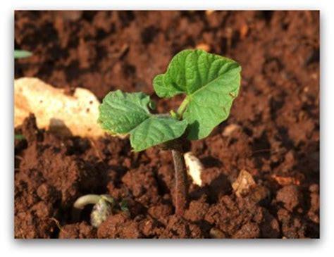 growing bush beans   backyard