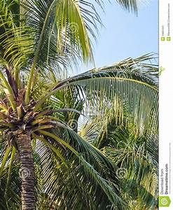 Coconut Tree Stock Photo - Image: 54851041