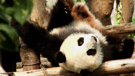 panda china business pandas money rolling works expensive they slide dam booming cnn