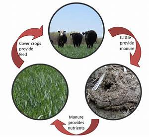 Student Research  Does The Grazing Of Cover Crops By
