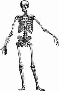 The Human Skeleton   ClipArt ETC