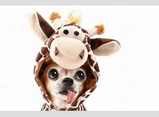 Top 10 Benefits Of Having A Chihuahua Puppies Club