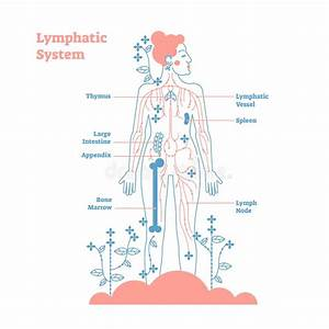 Lymphatic System Of Female Body Stock Illustration