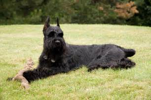 Long Haired Dogs That Dont Shed by File Giantschnauzer Grass Jpg Wikimedia Commons