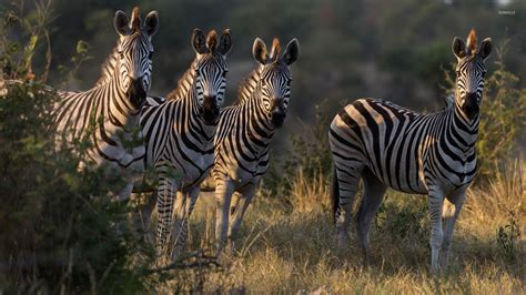 Zebra Animal Wallpaper - zebras 2 wallpaper animal wallpapers 46823