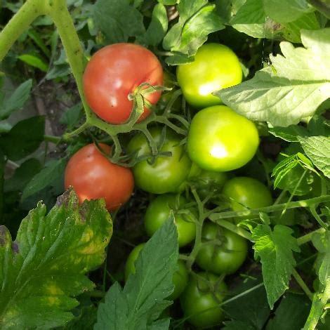 Tomāti & paprika & gurķi & ķirbji & un citi dārzeņi 2020 ...