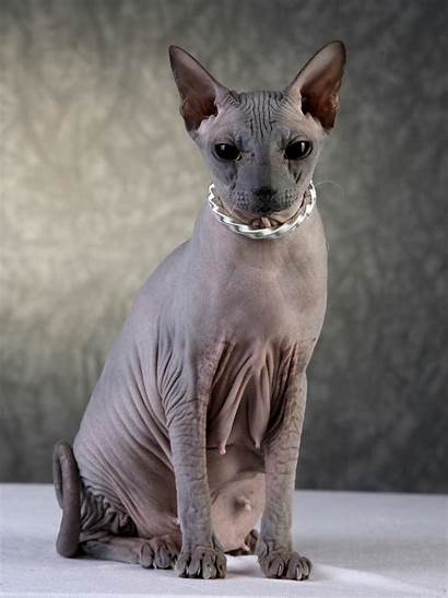 Sphynx Cat Wallpapers Iphone