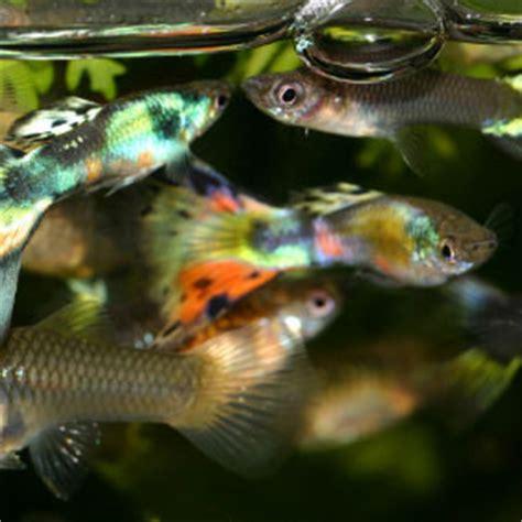 les maladies bact 233 riennes des poissons d eau douce les maladies des poissons sant 233 des