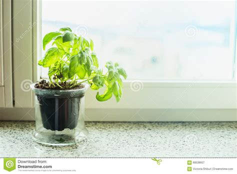 Basil Plant In A Pot On Windowsill. Stock Image