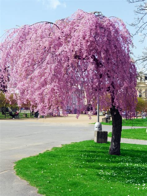 pink trees one more pink tree by stacy raven 21 on deviantart