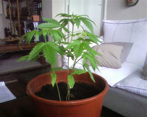 chambre de cannabis cultiver cannabis interieur sans materiel 28 images