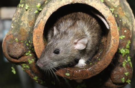 intestinal parasites  rats petmd