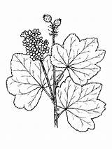 Coloring Currant Berries Fruits Recommended sketch template