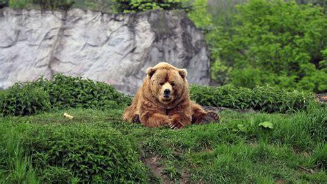 3840x2160 Wallpaper bear brown grass funny lie Động