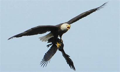 Crow Eagles Screaming Eating Resources Gifs Patos