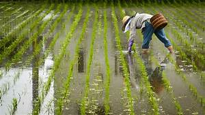 Rice Farming  Cultivation  Profit Production And Seeds