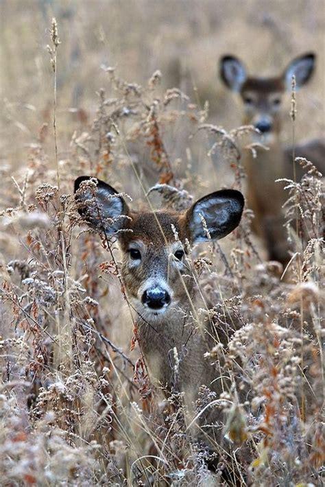 Missfairyblossom Popphotocom  Animals  Deer Pinterest