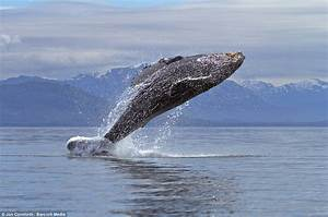 The World In Pictures: Jumping for joy! Humpback whales ...