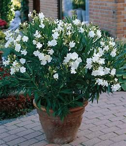 Oleander Winterhart Kaufen : oleander mix top k belpflanzen kaufen baldur garten ~ Eleganceandgraceweddings.com Haus und Dekorationen