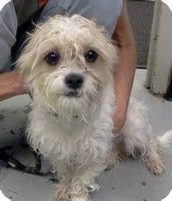 Clark | Adopted Dog | 26581132 | Orland Park, IL | Yorkie ...