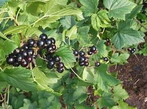 Schwarze Johannisbeere Pflanzen : schwarze johannisbeere 39 silvergieters schwarze 39 ribes ~ Lizthompson.info Haus und Dekorationen
