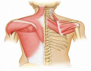 THS Anatomy Muscles That Move the Pectoral Girdle ...