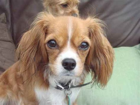 chilier dog cavalier king charles spaniel chihuahua mix