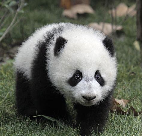 Pandas, tesoros entre los bambús · National Geographic en