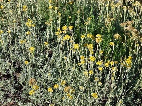 elicriso coltivazione in vaso elicriso helichrysum italicum aromatiche coltivare l