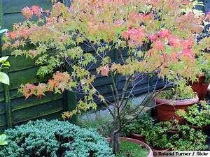 Pot Pour Arbre : erable du japon en pot pour terrasse erable du japon en ~ Dallasstarsshop.com Idées de Décoration