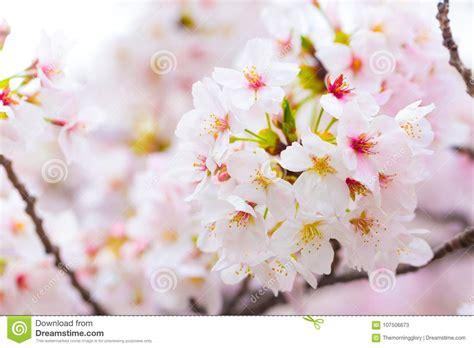 Sakura Cherry Blossom Close Up On Tree Branch Stock Image
