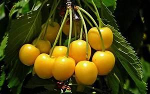 Yellow Cherry  U2013 Cherry First Farm