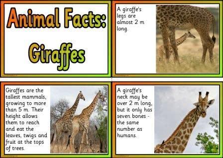 printable animal facts posters giraffes