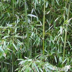 Bambou A Planter : buy bamboo phyllostachys bissetii big plant nursery ~ Premium-room.com Idées de Décoration
