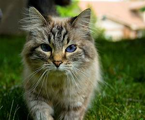 Dark Brown Tabby Cat with Blue Eyes | Hawk that Soars ...