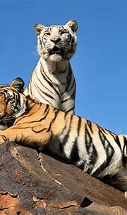 Two Tigers HD Wallpaper | Background Image | 2700x2080 ...