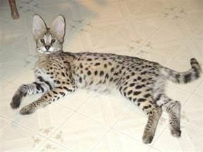 serval cats for pin by ingrid bigenho on servals