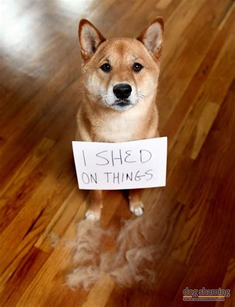 shiba shed 635 best images about shiba inus on sleep