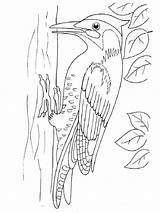 Coloring Pages Woodpecker Printable Birds Woodpeckers Colors Recommended sketch template