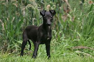 Italian greyhound longevity and hereditary health | Pets4Homes