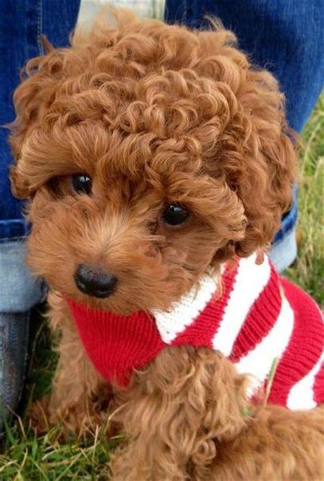 red curly hair puppy picture  poodle dogjpg