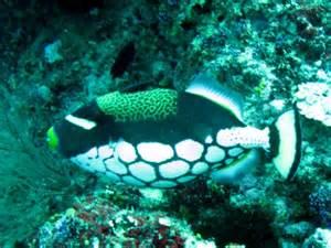 Marine Life Clown Fish